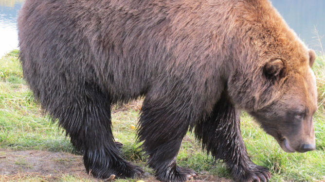 Zabili niedźwiedzia, bo wyjadał śmieci