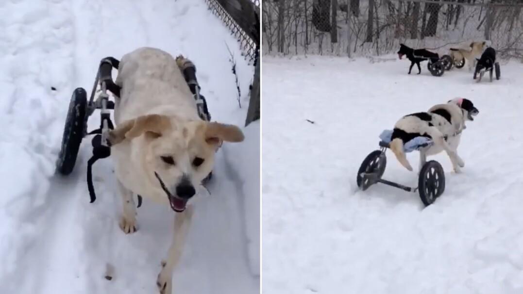 Pieski na wózkach bawią się wspólnie na śniegu