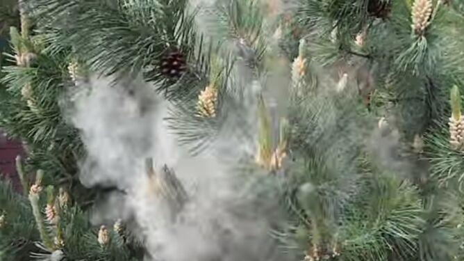 Zasypani sosnowym pyłem