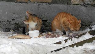 """Bez pomocy człowieka mogą nie przeżyć zimy. """"Dzikie koty są pożyteczne"""""""